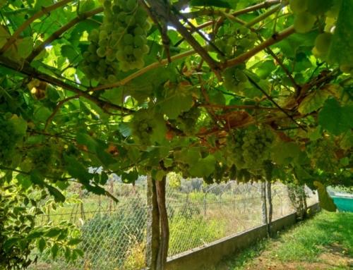 Albariño – Witte wijn uit Galicië