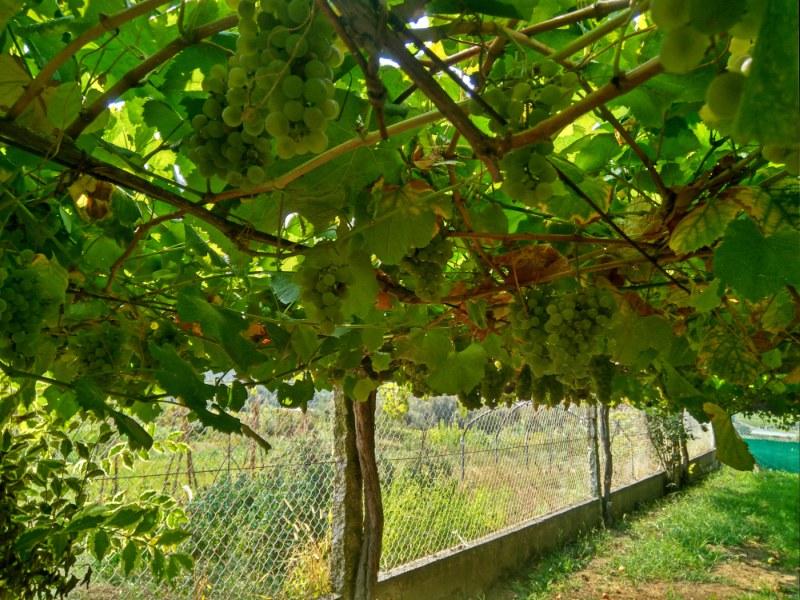 Albariño druiven onder de pergola
