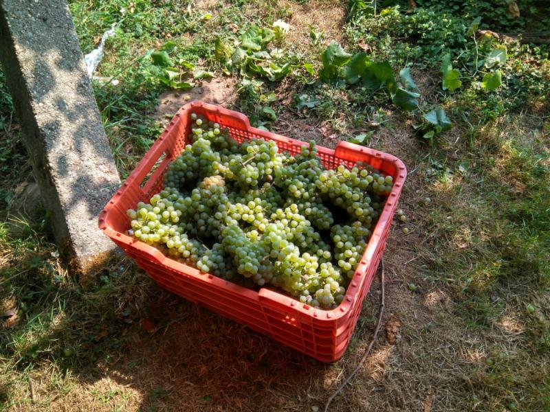 Trossen Albariño druiven