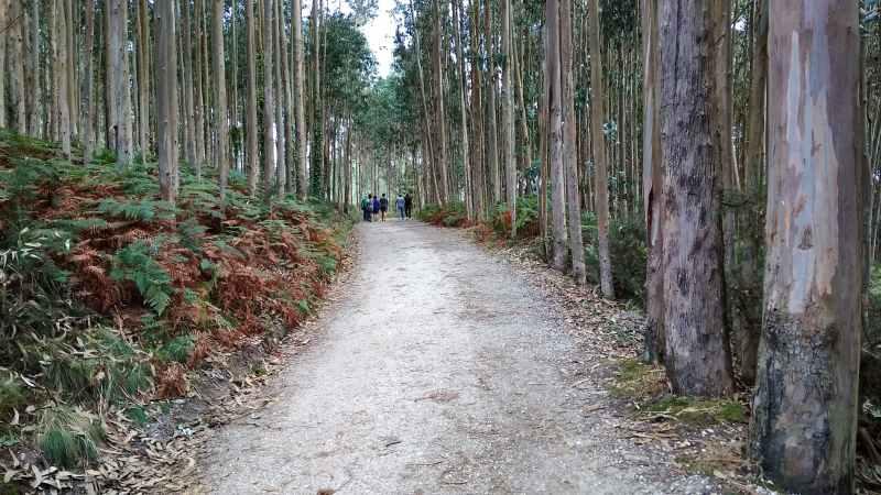 Tussen metershoge eucalyptusbomen