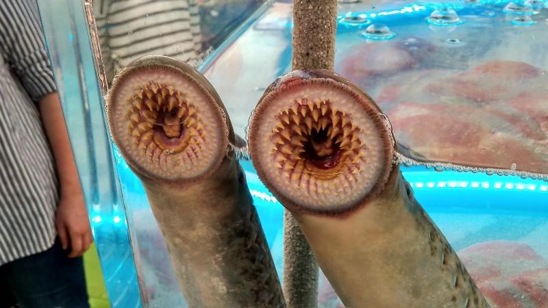 Toch maar doen in Galicië, lamprei eten